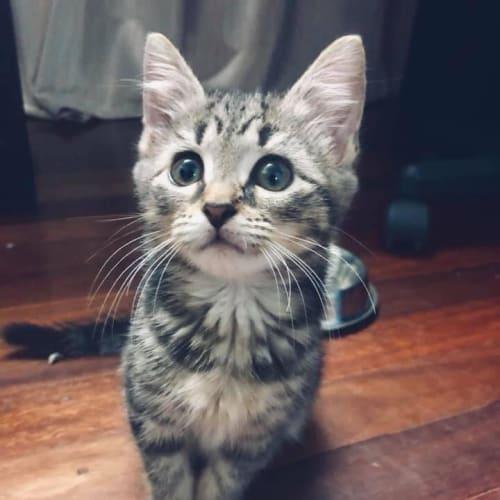 Vinnie - Domestic Medium Hair Cat