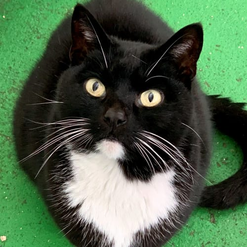 Mishka ID47071 - Domestic Short Hair Cat