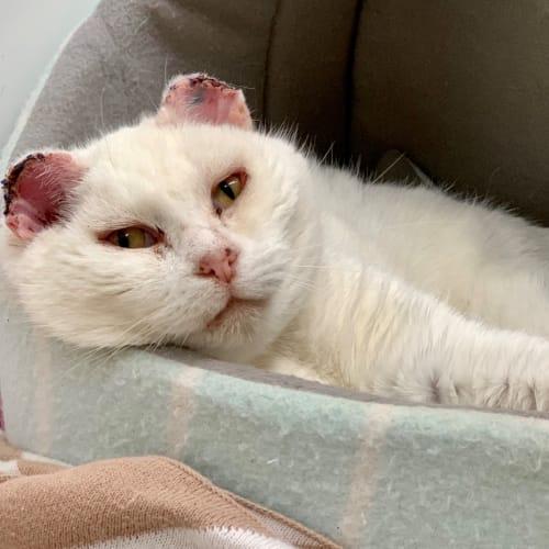 Honey ID46908 - Domestic Short Hair Cat