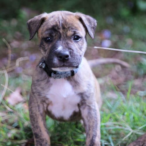 Chief - American Bulldog x American Staffordshire Terrier Dog