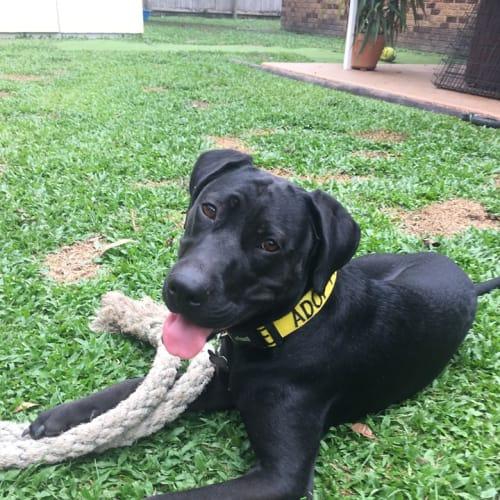 Sage - Labrador Dog