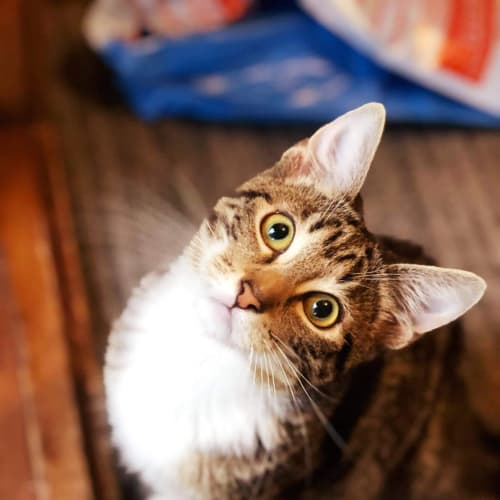 George (Located in Frankston) - Domestic Short Hair Cat