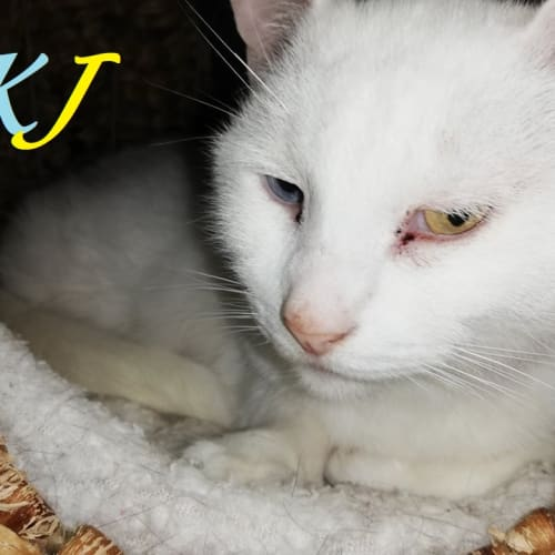KJ - Domestic Short Hair Cat