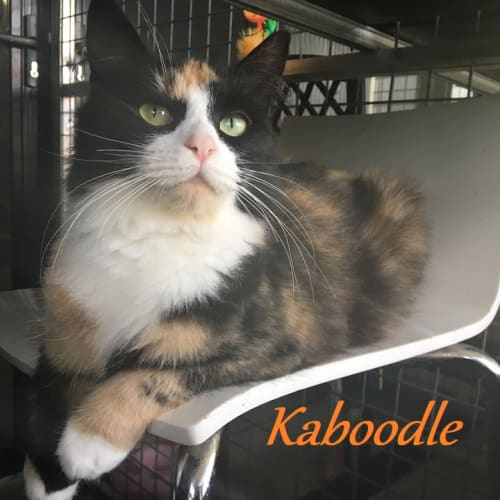 Kaboodle - Domestic Medium Hair Cat