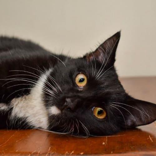 Breeze - Domestic Medium Hair Cat