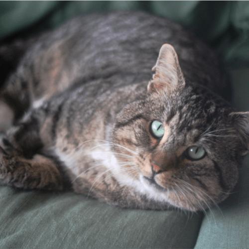 Kahuna - Domestic Short Hair Cat