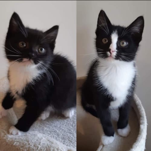 Mittens and Socksie (Girl and Boy) - Domestic Short Hair Cat