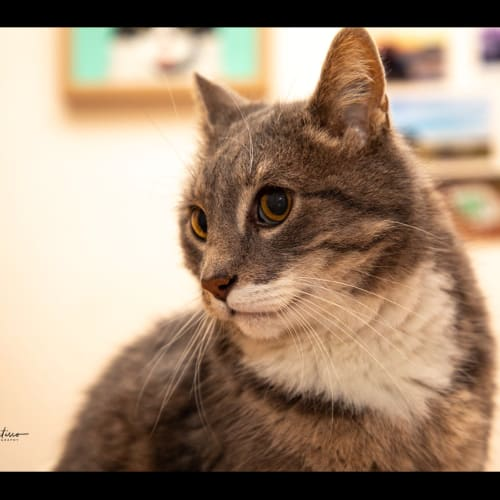 Loras - Domestic Short Hair Cat