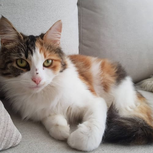 Jazmine (Located in Prahran) - Domestic Medium Hair Cat