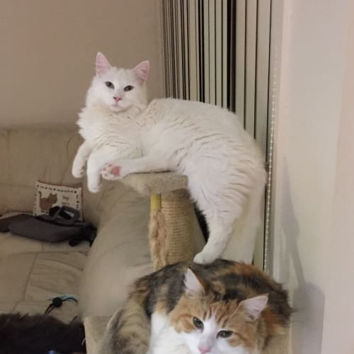 ❤️Lovebugs Onyx & Amber Need a Purrever Home - Angora Cat