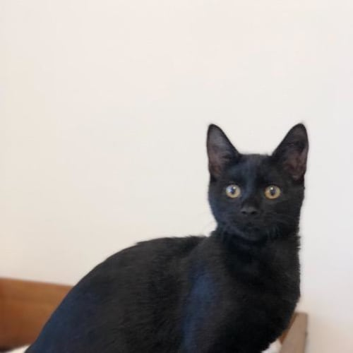 Tickie - Domestic Short Hair Cat