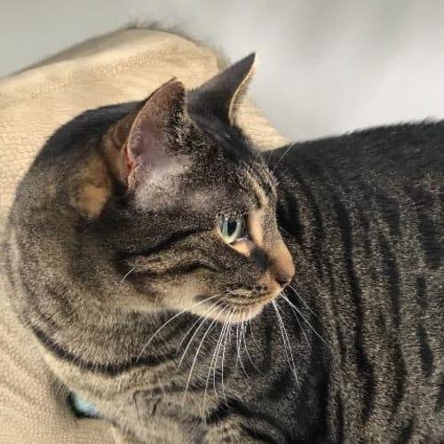 Mr B - Domestic Short Hair Cat