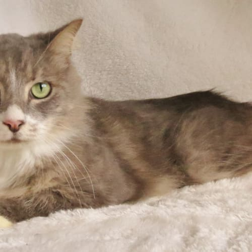 Gomez - Domestic Medium Hair Cat