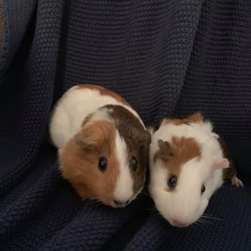 Maggie & Eloise -  Guinea Pig
