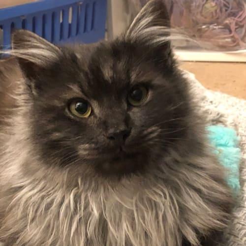 Smokie & Simba - Located in Pearcedale - Domestic Medium Hair Cat