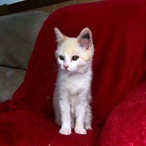 Cruz - Domestic Short Hair Cat