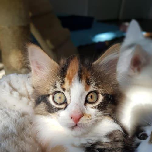 Cali - Domestic Medium Hair Cat