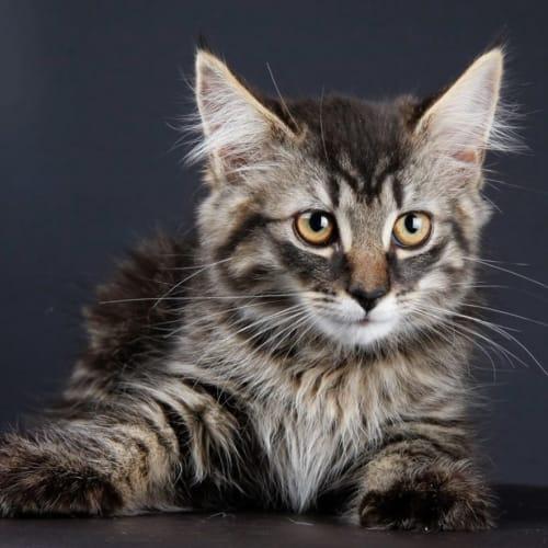 Nathan - Domestic Medium Hair Cat