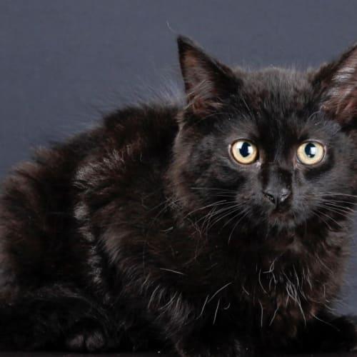 Evie - Domestic Medium Hair Cat