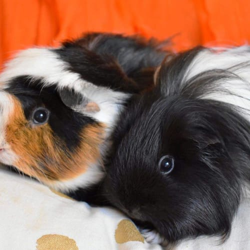 Amy and Audrey  -  Guinea Pig