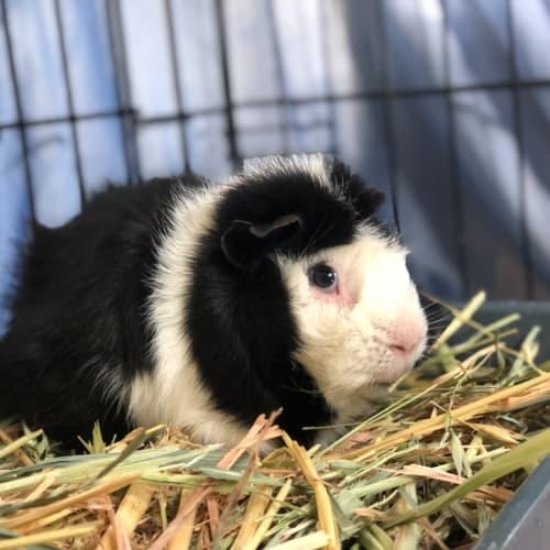 Samuel  -  Guinea Pig