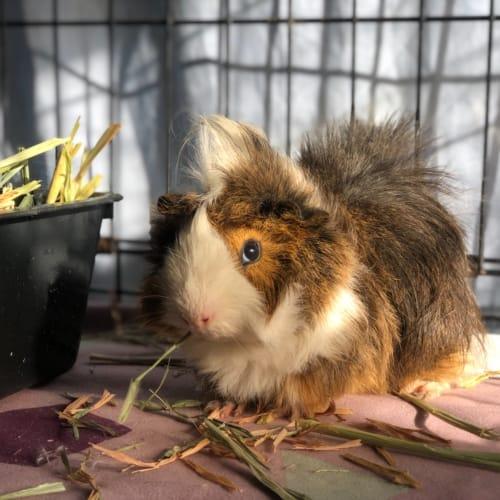 Finn -  Guinea Pig