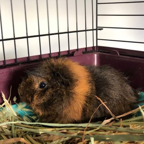 Clarke  -  Guinea Pig