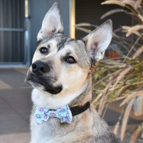 Gibson ** On Trial ** - Husky Dog
