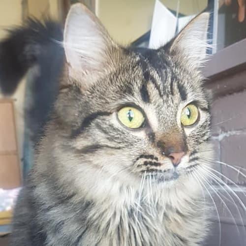 Beau - Domestic Medium Hair Cat