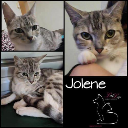 Jolene - Domestic Short Hair Cat