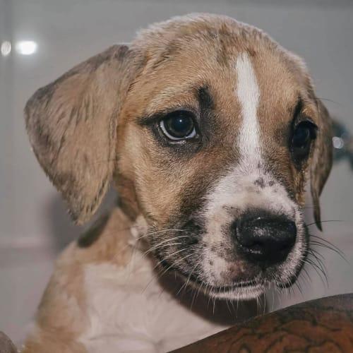 Amala - Staffy Dog