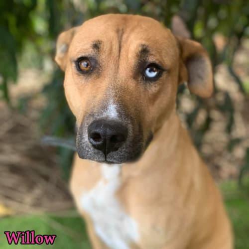 Willow - Catahoula Dog
