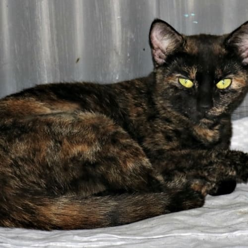 Halo - Domestic Short Hair Cat