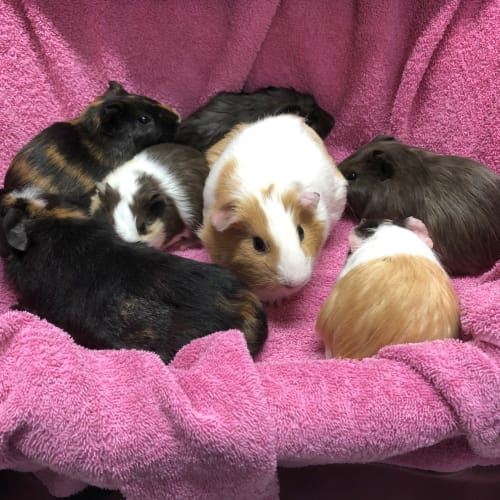 Willow, Babe, Ginger, Wilbur, Ziggy, Herman, Winni - Guinea Pig