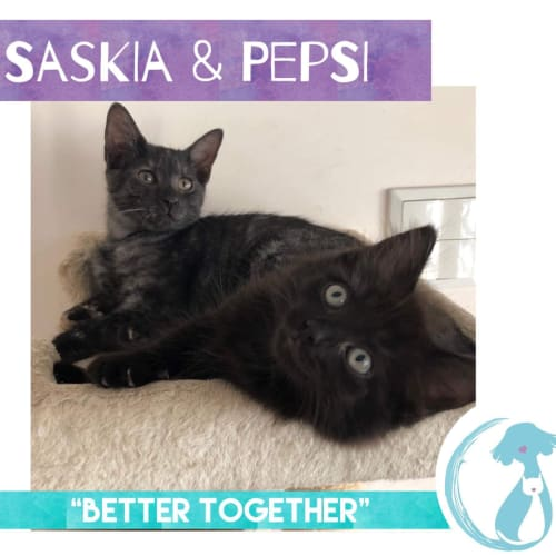 Saskia & Pepsi - Domestic Short Hair Cat