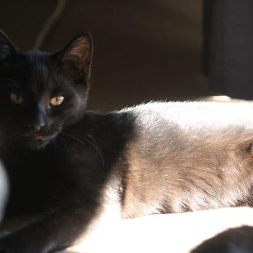 Bat - Domestic Short Hair Cat