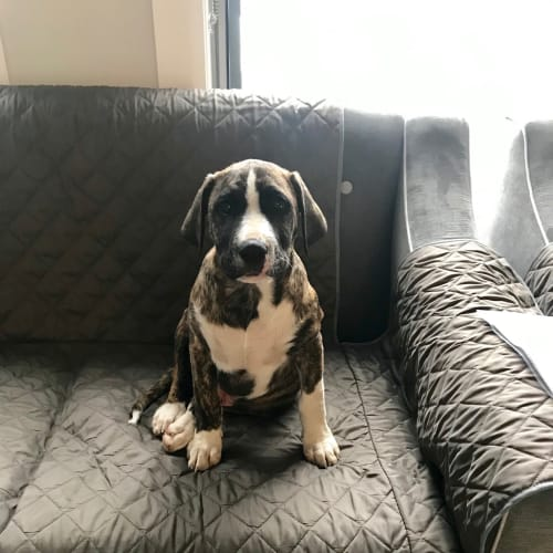 Chief ** The Most Beautiful Pup ** - Collie Smooth x Great Dane Dog