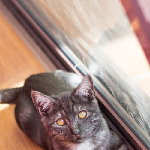 Marcellus - Domestic Short Hair Cat