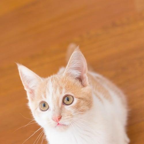 Tyrion - Domestic Short Hair Cat