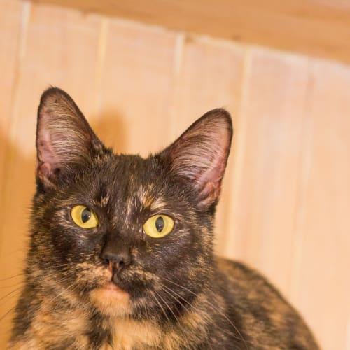 Miss Maple - Domestic Short Hair Cat