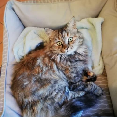 Precious - Domestic Long Hair Cat