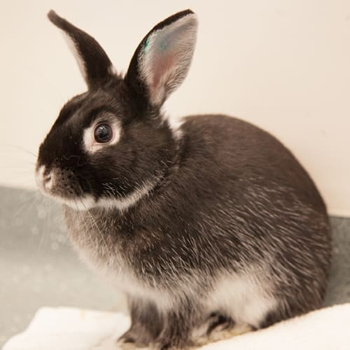 Carrots - Domestic Rabbit