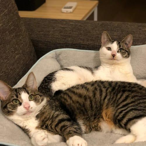 Tinkerbell & Peter Pan (Located in Truganina) - Domestic Medium Hair Cat