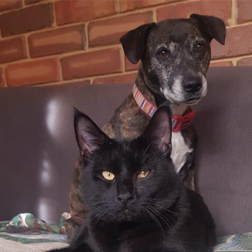Gordon - Visit Me at PetStock Claremont! - Domestic Short Hair Cat