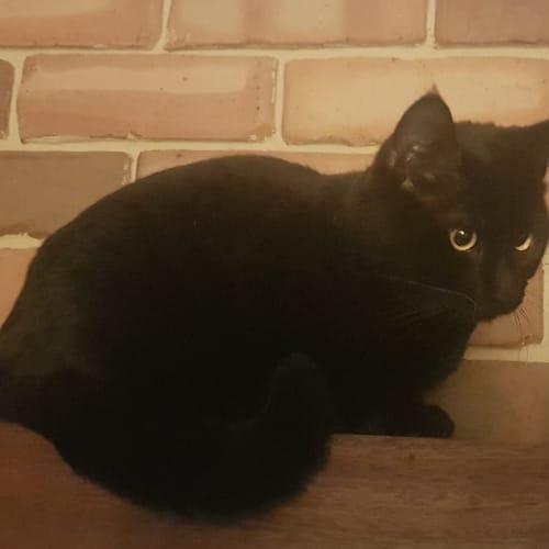 Gerald - Visit Me at PetStock Claremont! - Domestic Medium Hair Cat