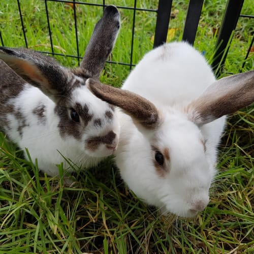 Poppy and Malakai **On Trial With Our New Family** - Domestic Rabbit