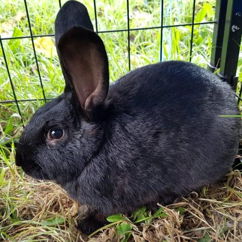 Sambo - Domestic Rabbit