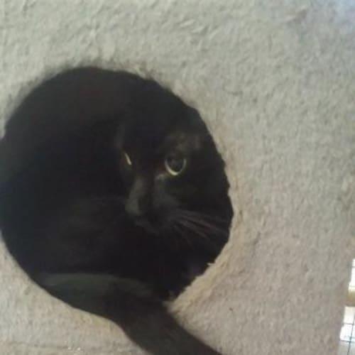 Emilio - Domestic Short Hair Cat