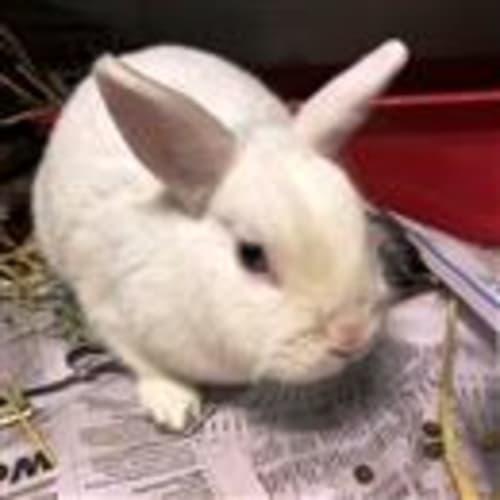 Luna  919245 - Dwarf Rabbit