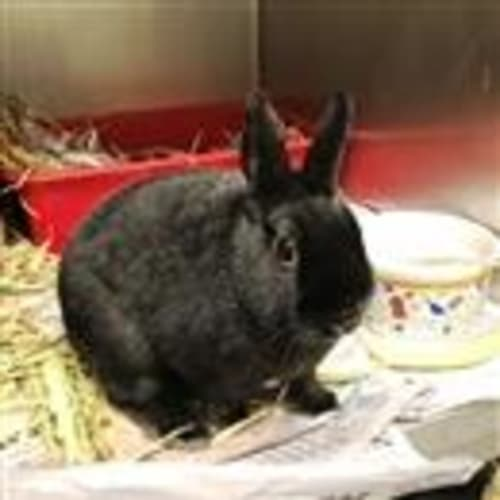Nibbles  919251 - Dwarf Rabbit